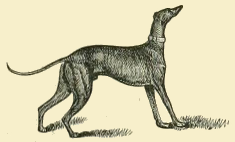 Greyhound_Drawing