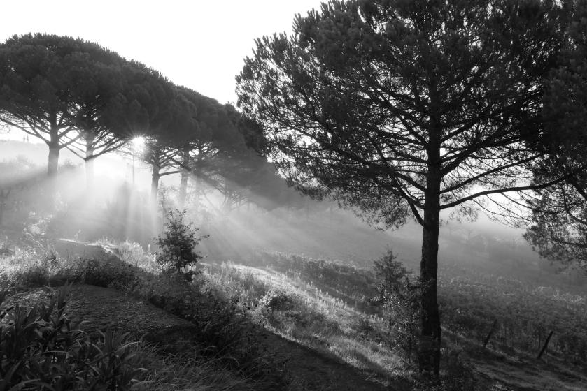 B+W umbrella pine